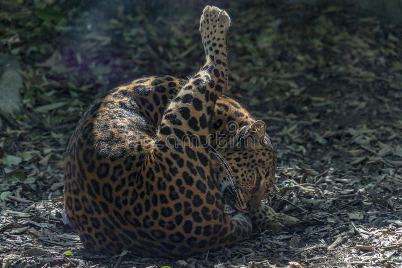 Jaguar of america close up portrait royalty free stock images