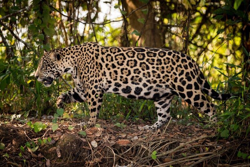 Jaguar anda direita para a esquerda através do mato foto de stock