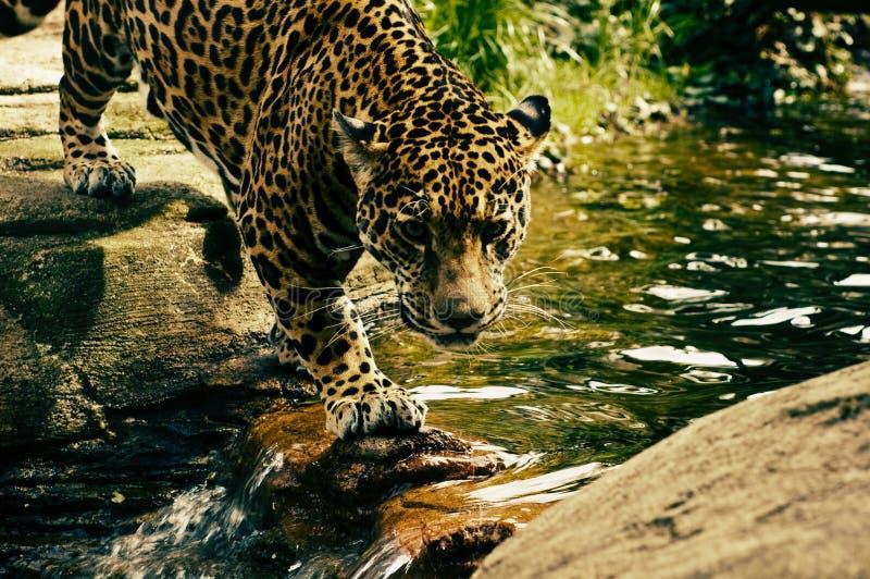 Jaguar, animais selvagens, mamífero, animal terrestre fotos de stock