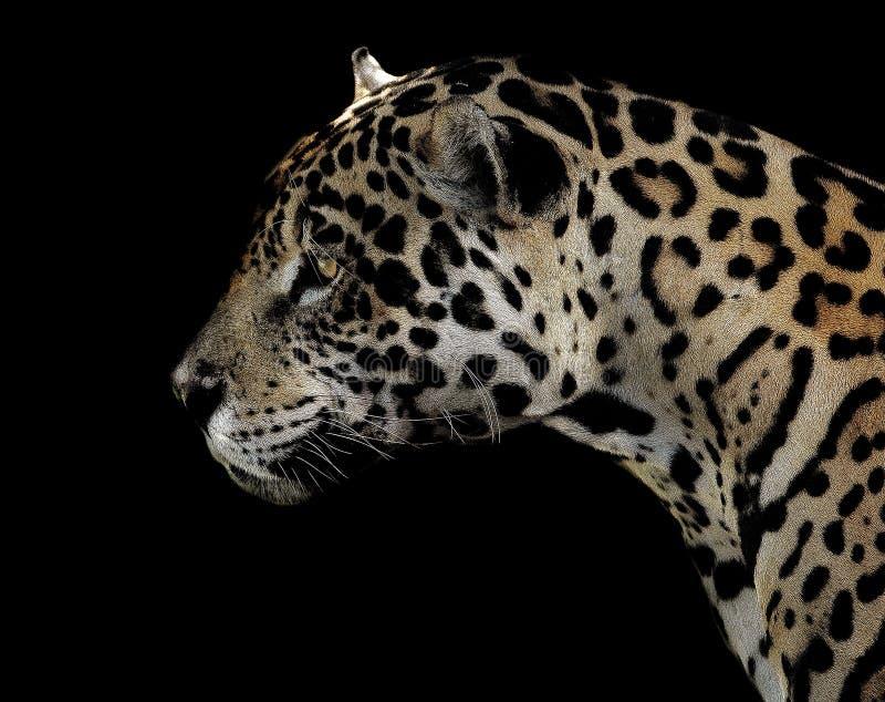 Jaguar, animal terrestre, animais selvagens, leopardo fotos de stock royalty free