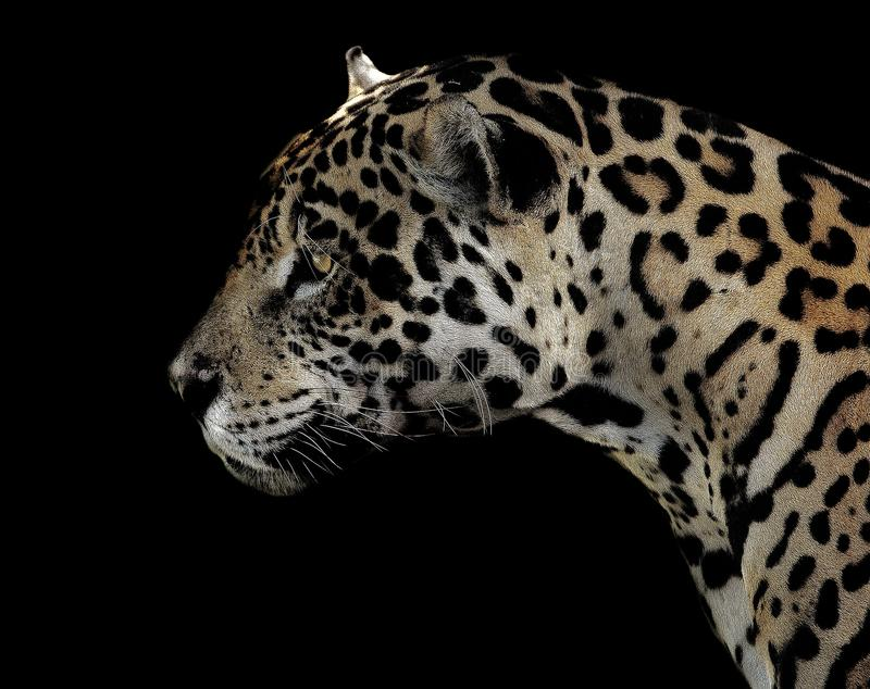 Jaguar, animale terrestre, fauna selvatica, leopardo fotografie stock libere da diritti