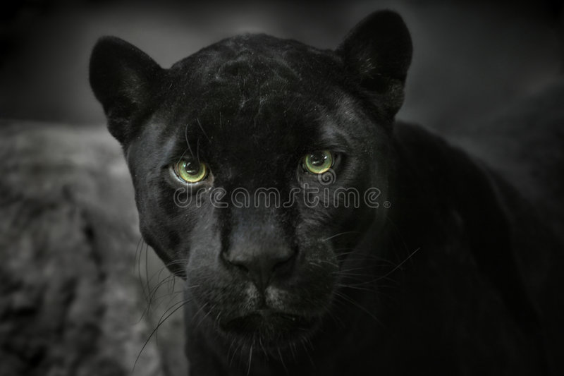 Download Jaguar black. Portrait stock photo. Image of feline, prowl - 8219326