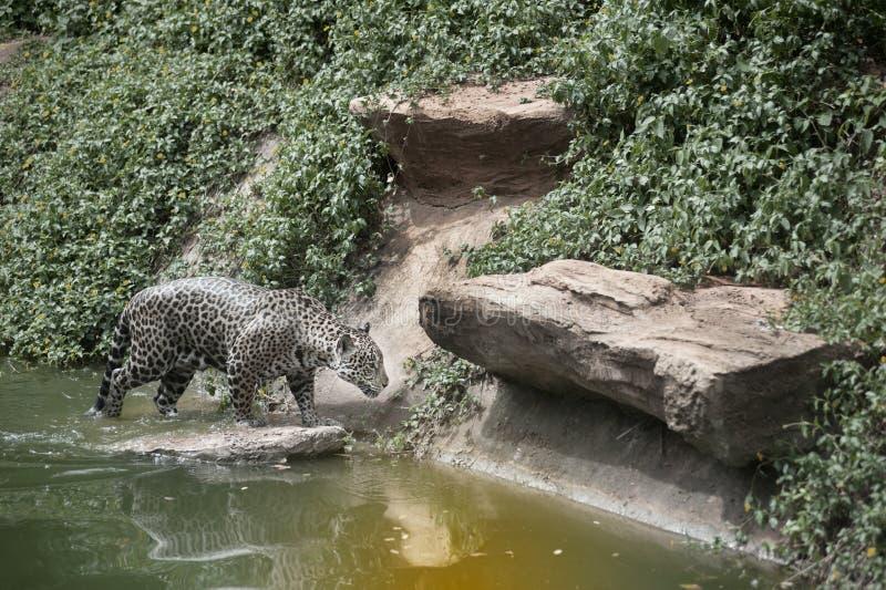 Jaguar bonito que anda perto da lagoa imagens de stock