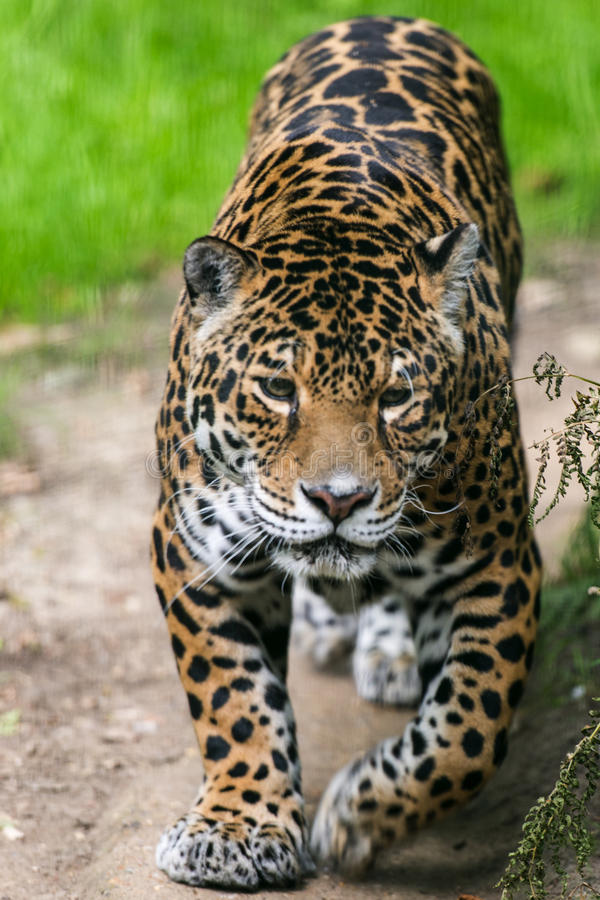 Download Jaguar Cat Stock Photography - Image: 26699592