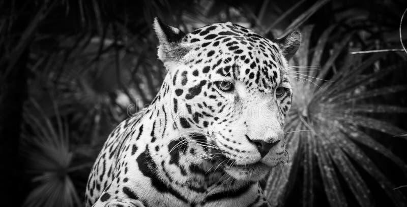 Jaguar Cat Black e bianco fotografie stock libere da diritti