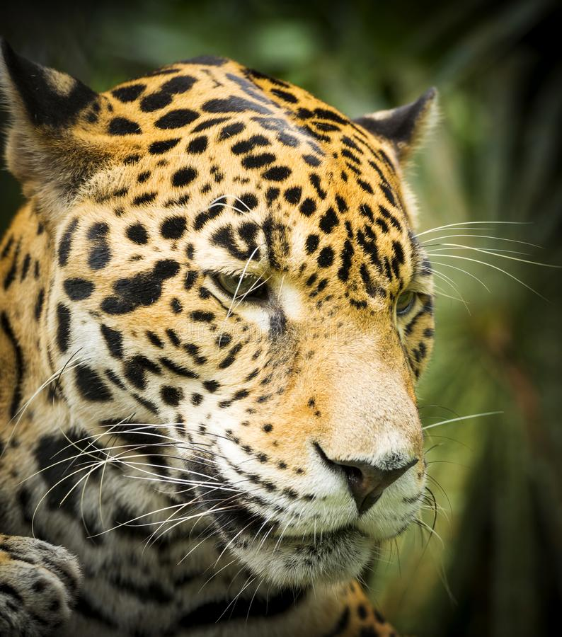 Jaguar Growling: Download 5,772 Royalty Free Photos