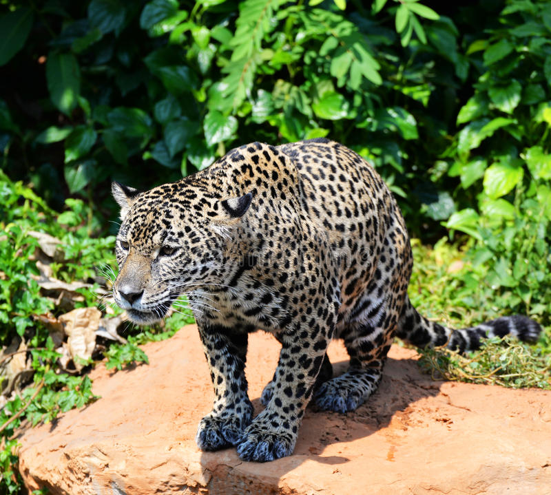 Jaguar Growling: Jaguar Stock Image. Image Of Jaguar, Stalking, Something