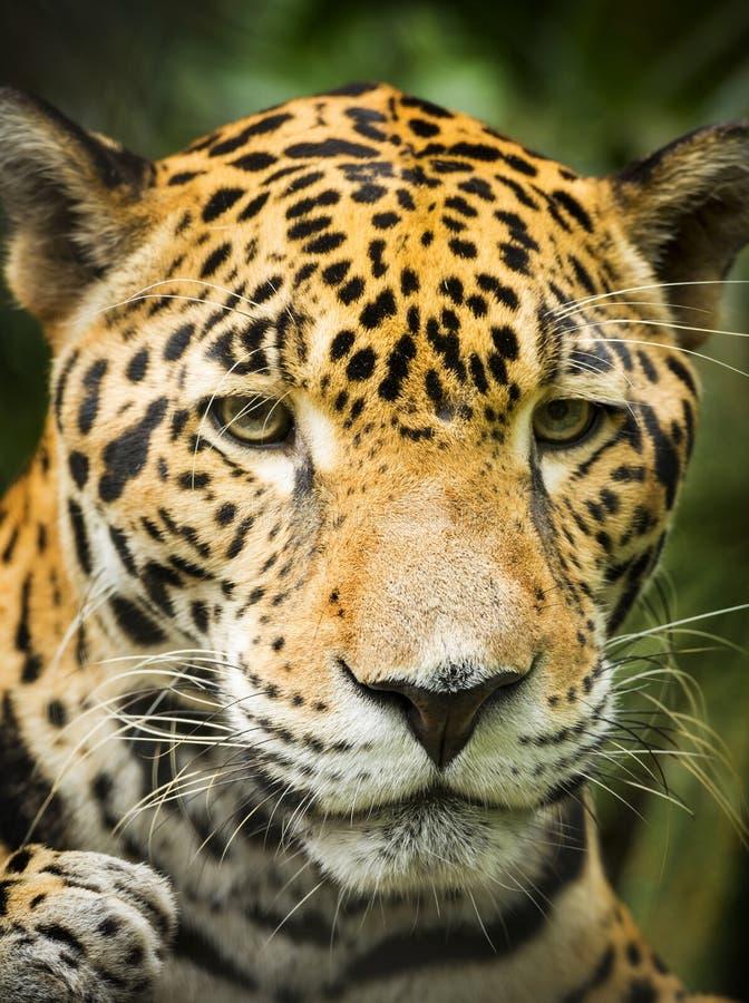 Jaguar Cat Portrait arkivbild
