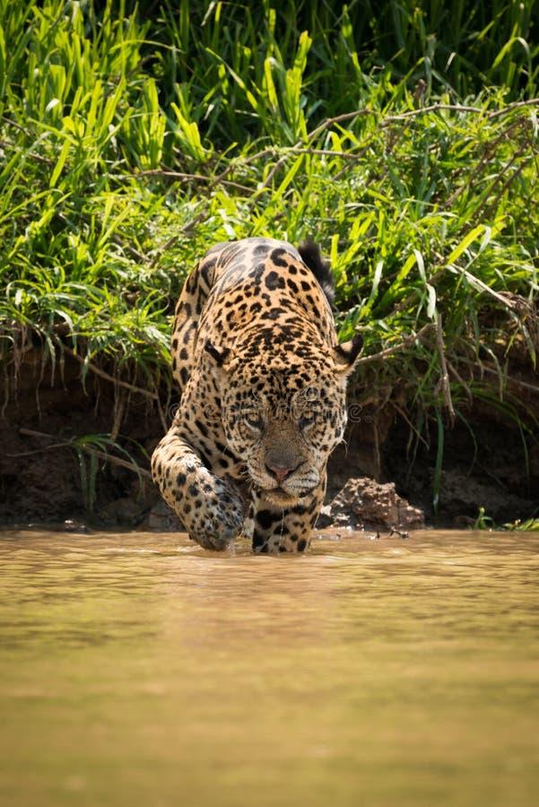 Jaguar che cammina con la secca fangosa verso la macchina fotografica fotografia stock libera da diritti