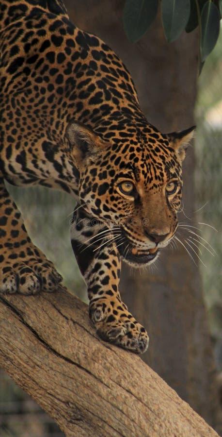 Jaguar che cammina giù un tronco di albero fotografia stock