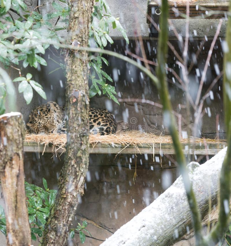 Jaguar che dorme nella neve fotografia stock libera da diritti