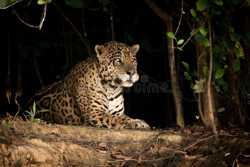 Jaguar che si trova sulla banca della terra in alberi immagine stock