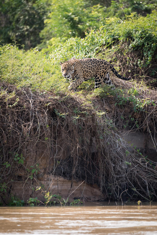 Jaguar che vaga in cerca di preda attraverso i cespugli sulla sponda del fiume fotografia stock