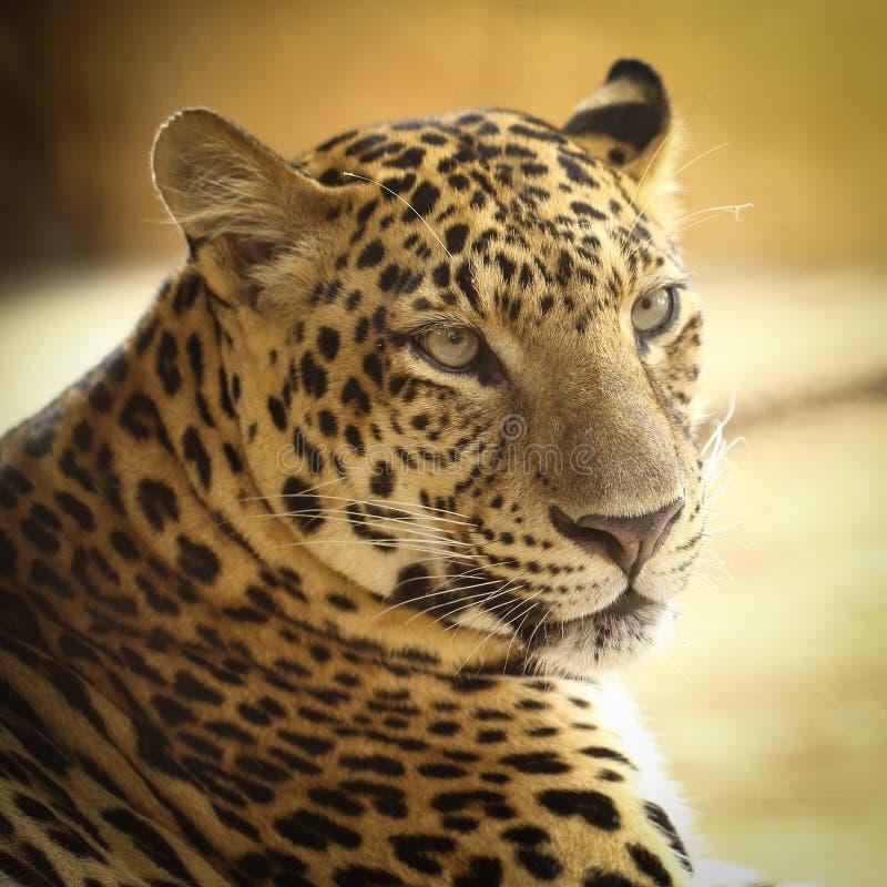 Jaguar Roaring: Roaring Jaguar Stock Image. Image Of Roaring, Face