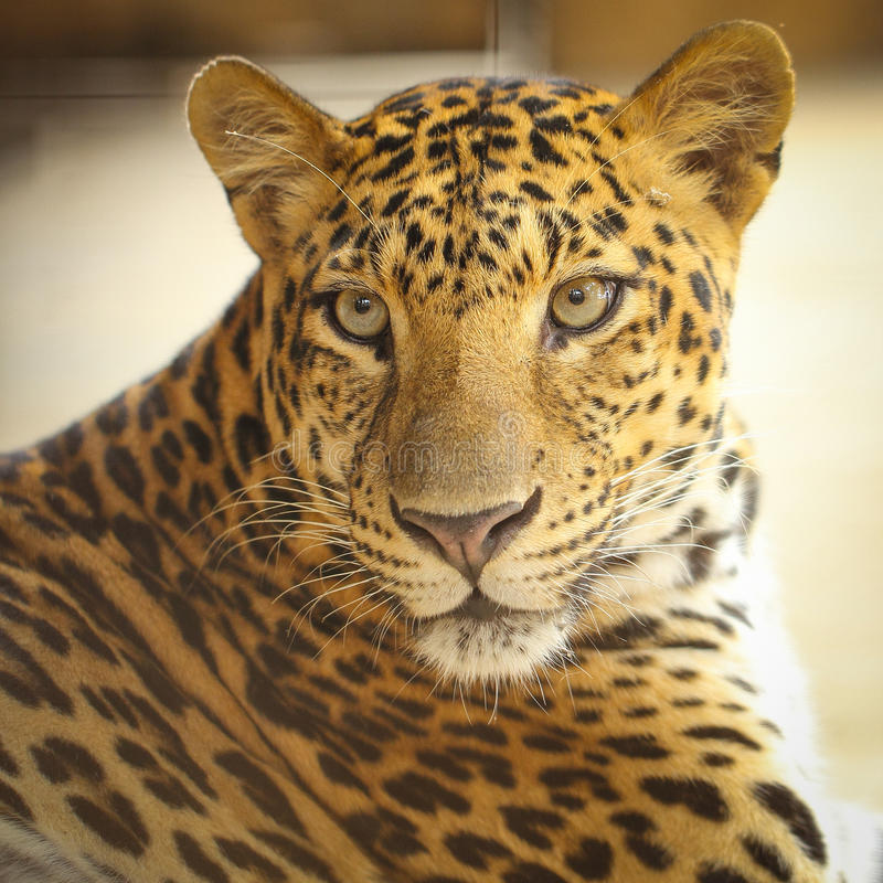 Roaring Jaguar: Download 175 Royalty Free Photos