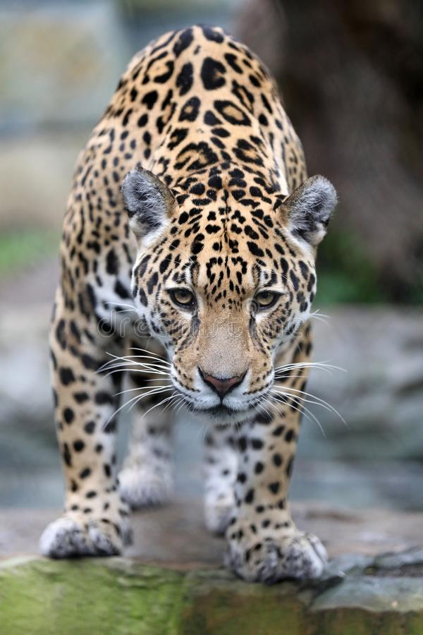 Jaguar close-up portrait royalty free stock photo