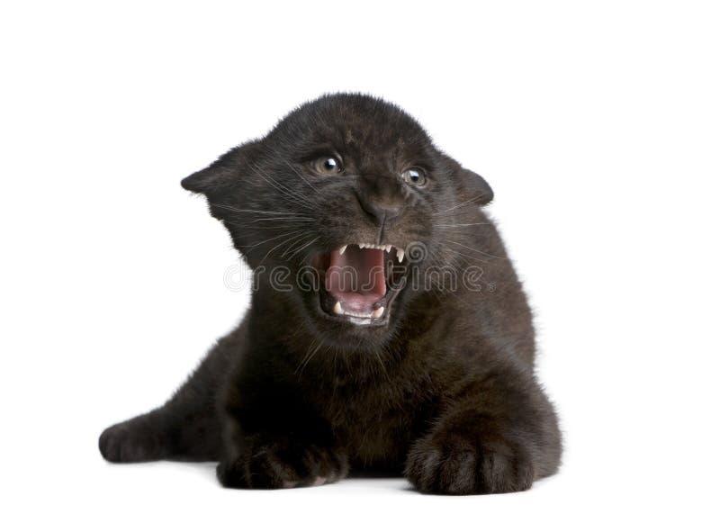 Jaguar cub (2 months) - Panthera onca royalty free stock image