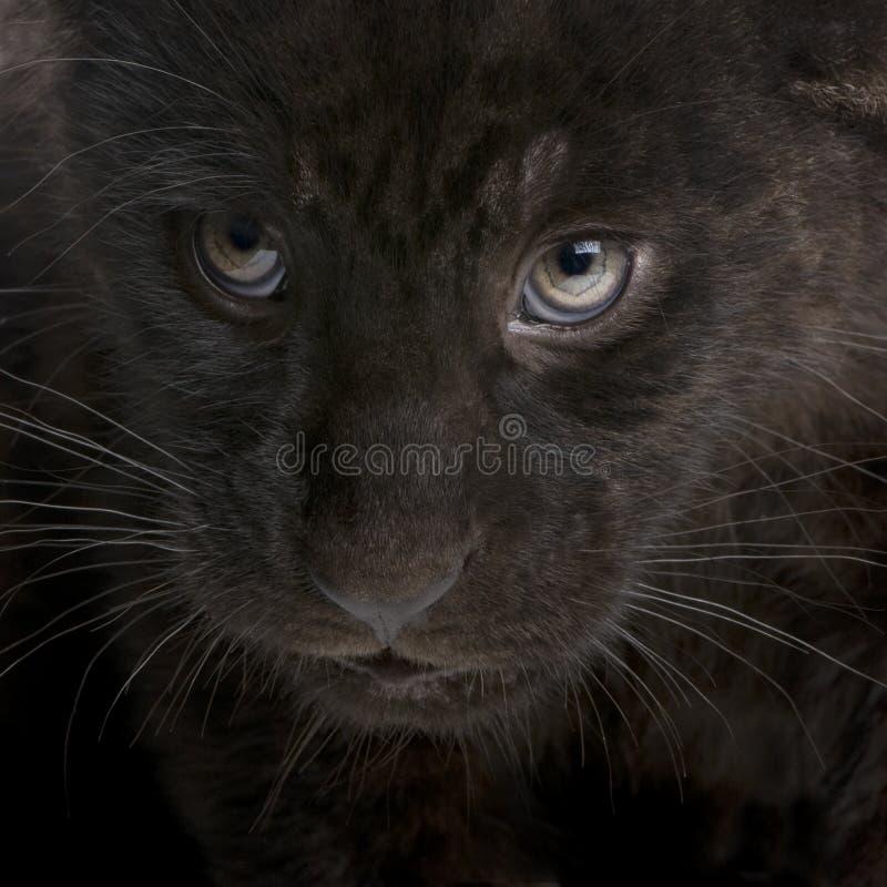Download Jaguar Cub (2 Months) - Panthera Onca Stock Image - Image: 6609907