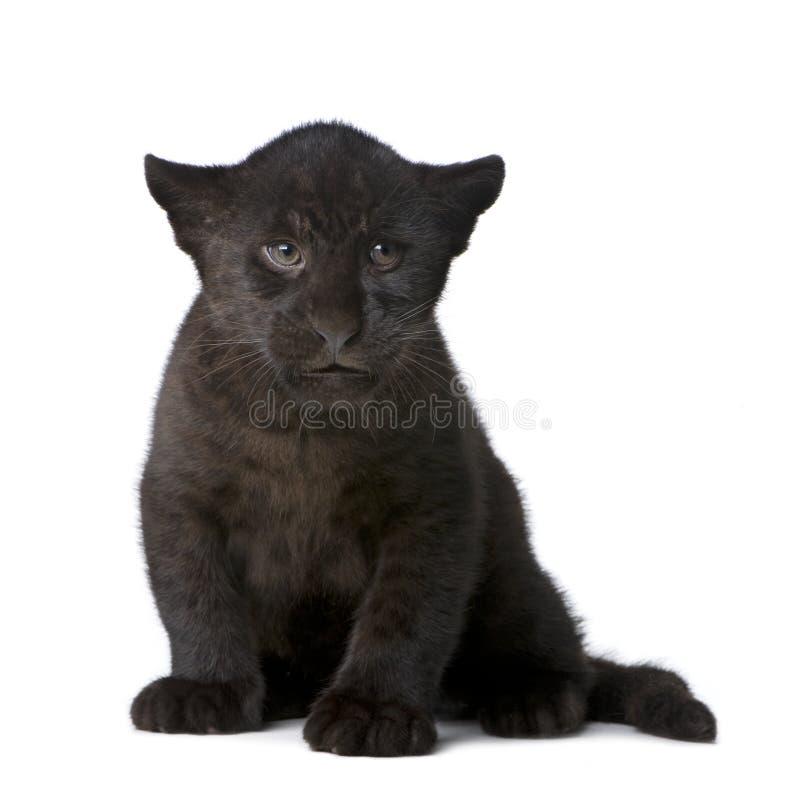 Download Jaguar Cub (2 Months) - Panthera Onca Stock Photo - Image: 6609936