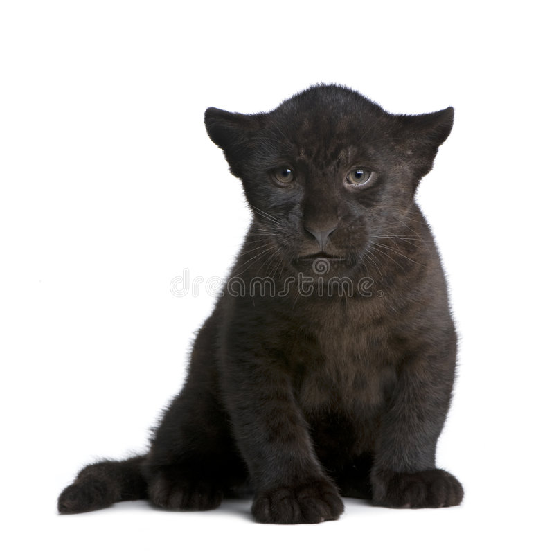 Download Jaguar Cub (2 Months) - Panthera Onca Stock Photo - Image of view, feline: 6609940