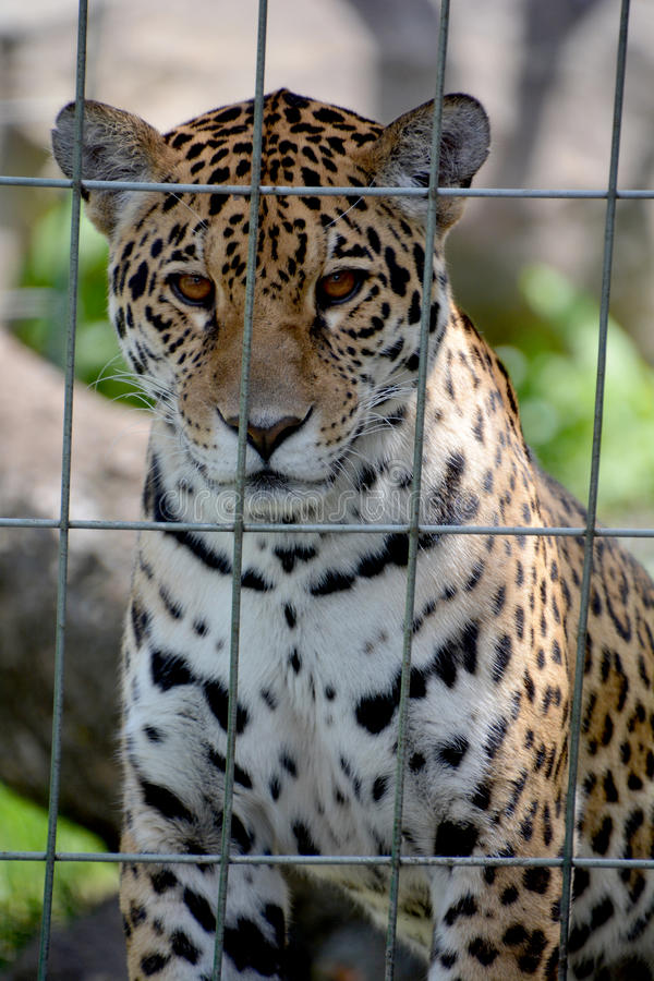 Jaguar CUB stockfoto