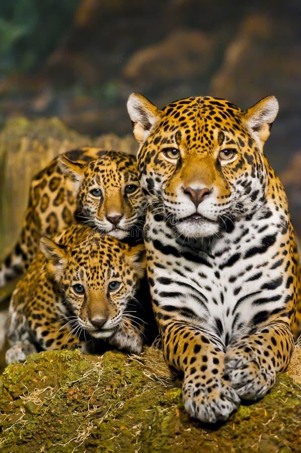 Free Jaguar Cubs Stock Photo - 29253450