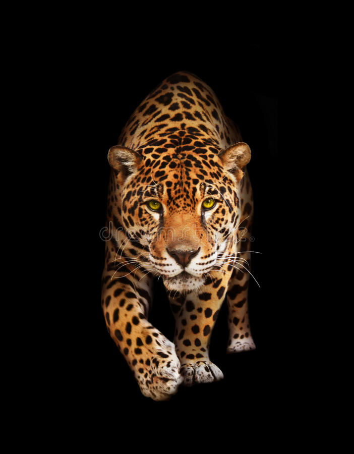 Jaguar in darkness - front view, isolated stock image