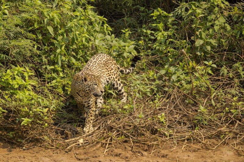 Jaguar, das Endstück neben Dschungel-Büschen schlägt lizenzfreies stockbild