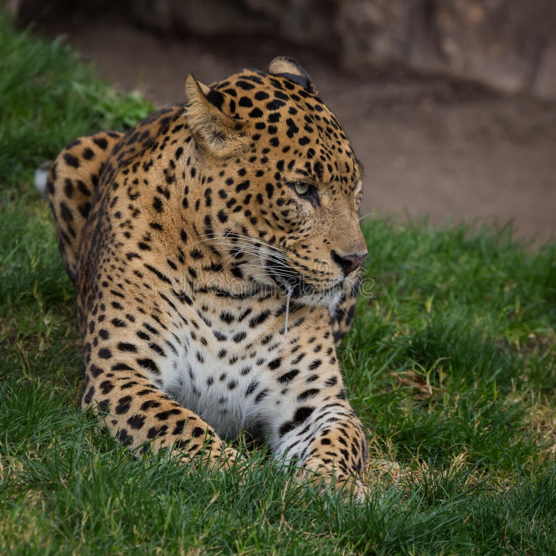 Jaguar de encontro imagens de stock royalty free