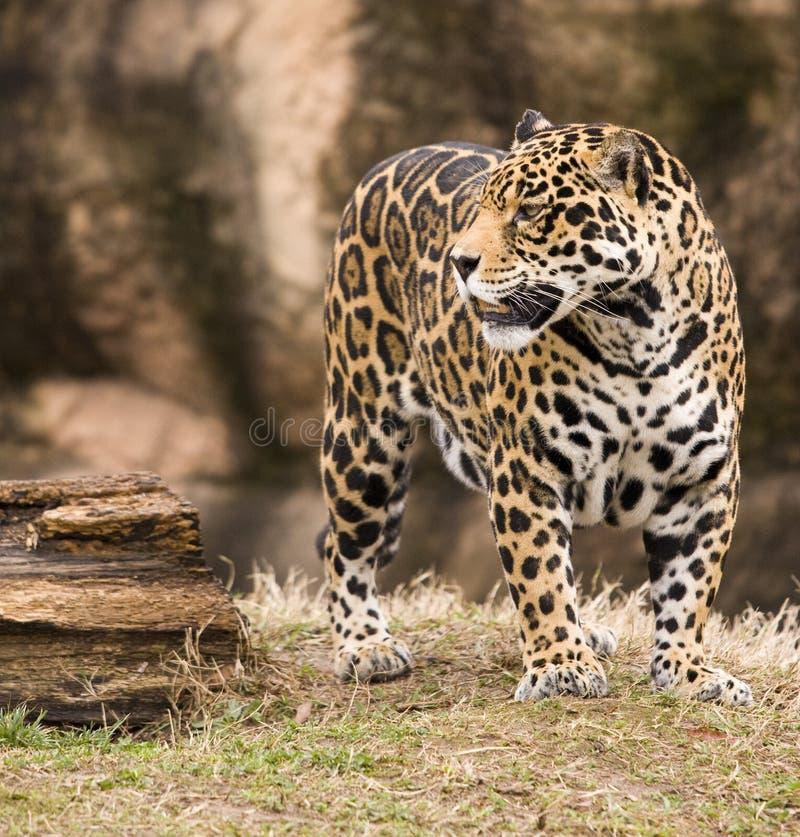Jaguar de Spoted imagem de stock royalty free
