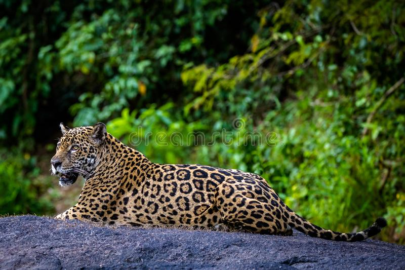 Jaguar in de wildernis van Suriname royalty-vrije stock foto