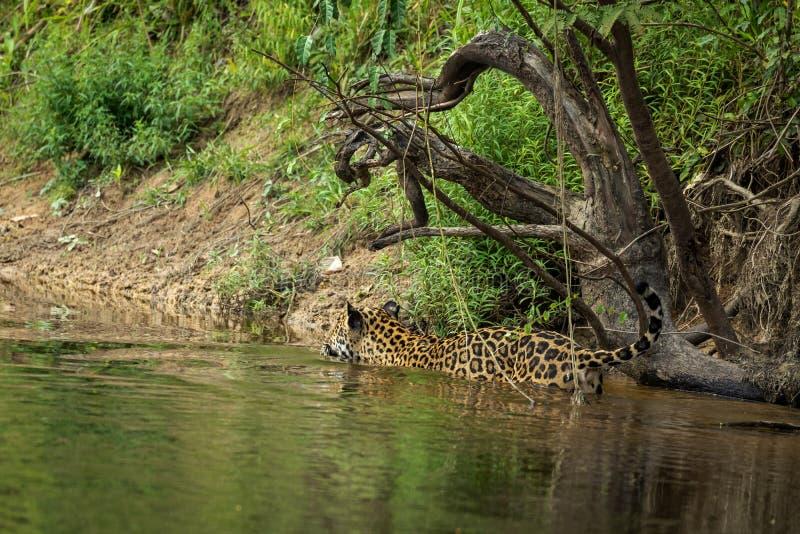 Jaguar in de wildernis van Suriname stock afbeeldingen