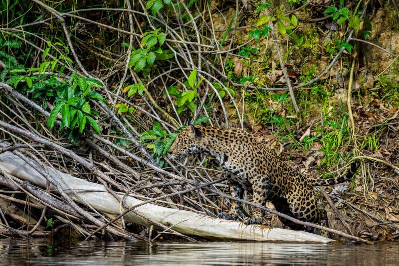 Jaguar in de wildernis van Suriname royalty-vrije stock afbeeldingen
