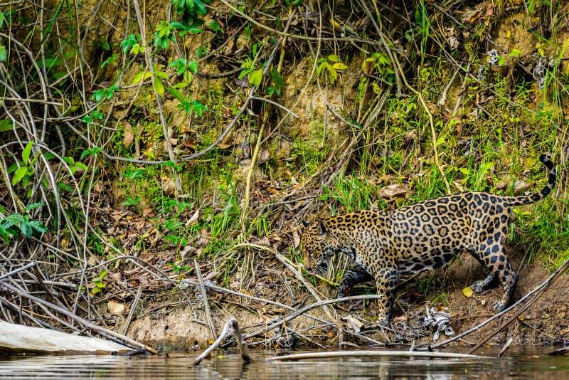 Jaguar in de wildernis van Suriname stock foto