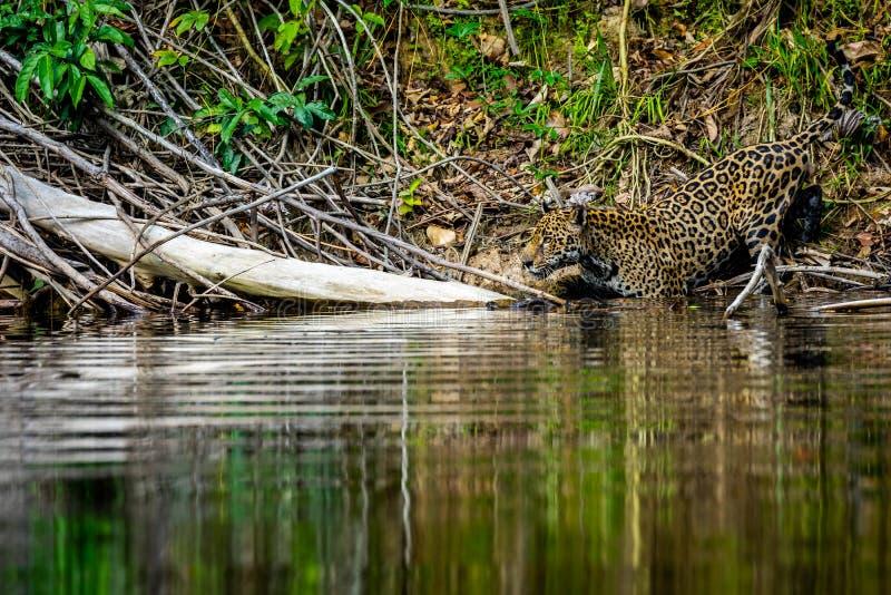 Jaguar in de wildernis van Suriname royalty-vrije stock afbeelding