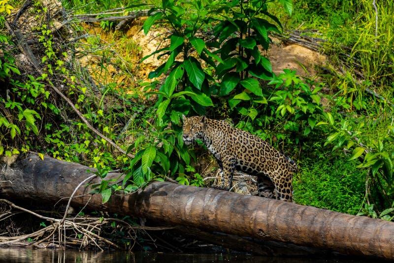 Jaguar in de wildernis van Suriname stock afbeelding