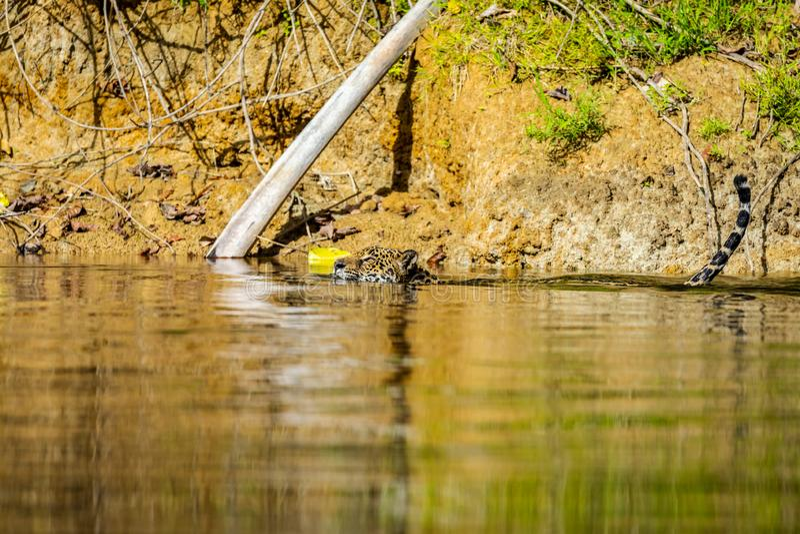 Jaguar in de wildernis van Suriname royalty-vrije stock foto's