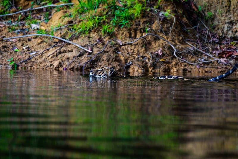 Jaguar in de wildernis van Suriname stock foto's