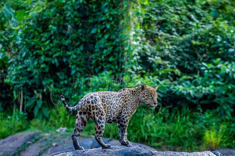 Jaguar in de wildernis van Suriname stock fotografie