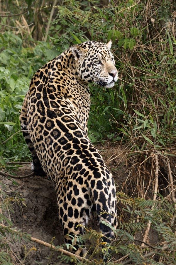 Jaguar die Pose slaan stock fotografie