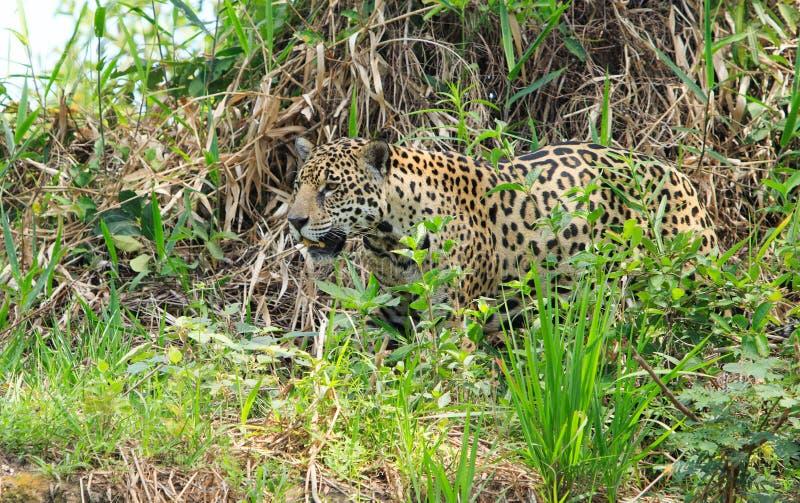 Jaguar donna che cammina attraverso la foresta fitta lungo il fiume pantanal, Brasile fotografia stock libera da diritti