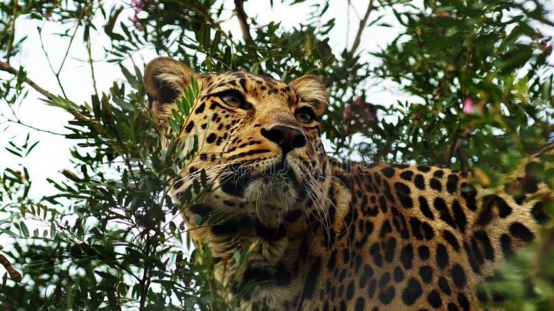 Jaguar in een boom stock afbeelding