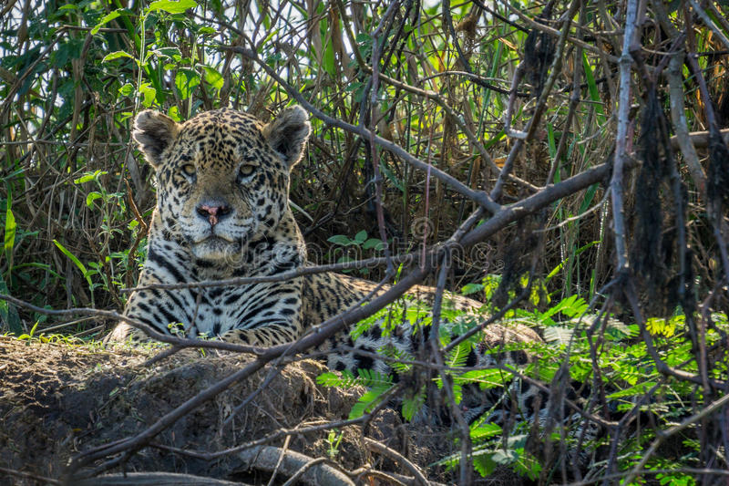 Jaguar em Pantanal fotografia de stock