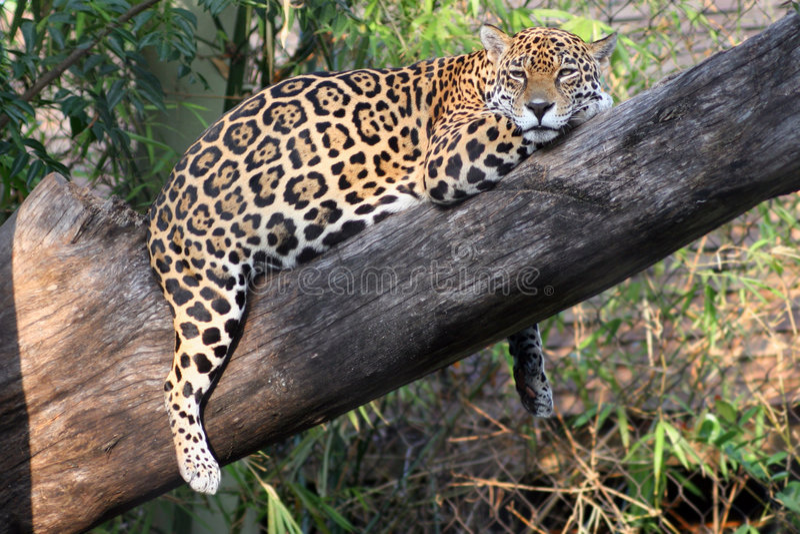 Jaguar em repouso 2 fotos de stock