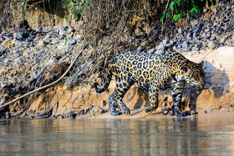Jaguar en el vagabundeo en los bancos del río de Cuiaba fotos de archivo libres de regalías