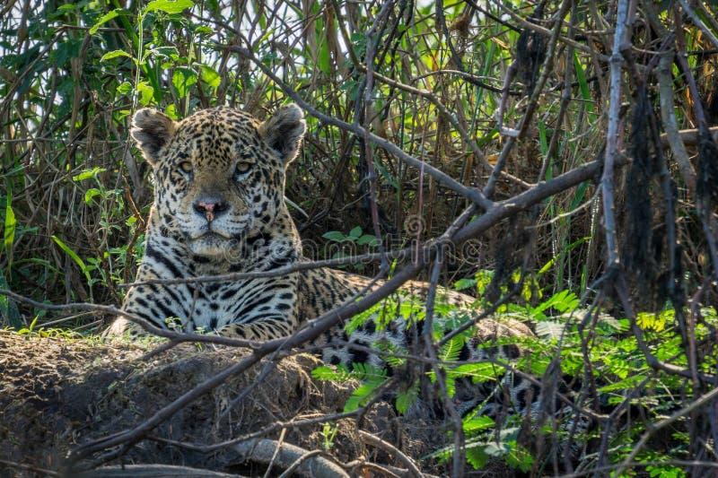 Jaguar en Pantanal fotografía de archivo