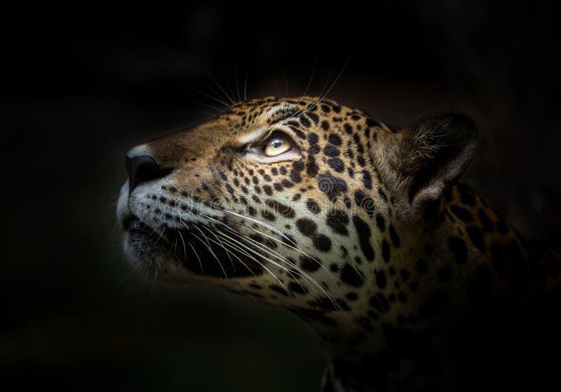 Jaguar enfrenta fotografia de stock royalty free