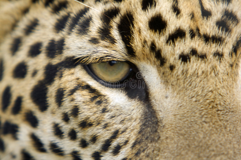 Jaguar Eye royalty free stock images