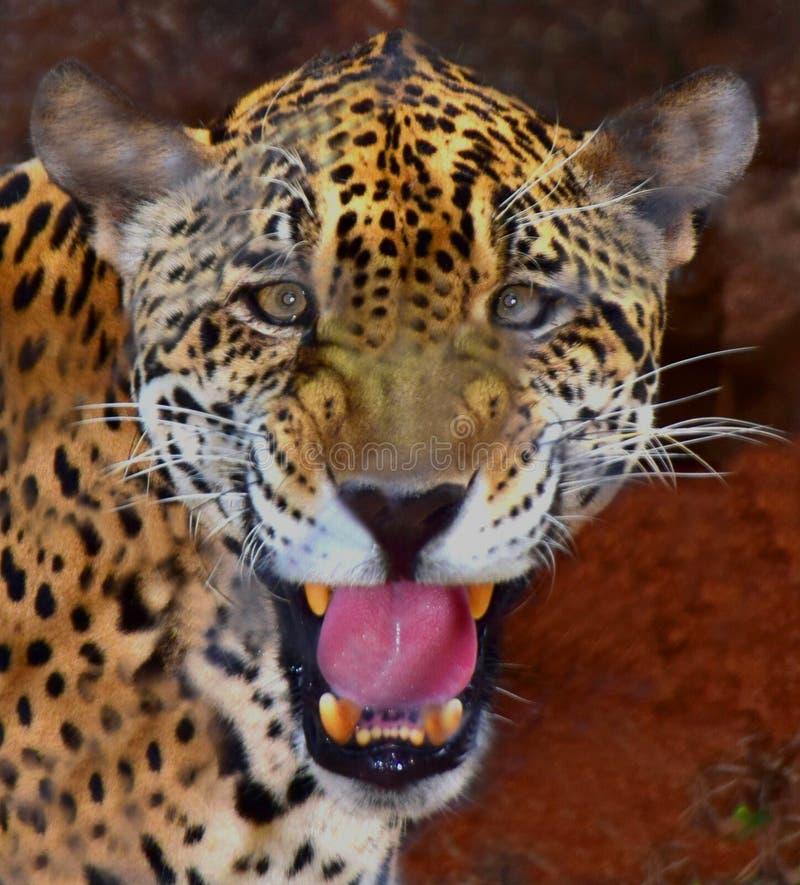 Jaguar Face: Jaguar Mouth Open Stock Photos