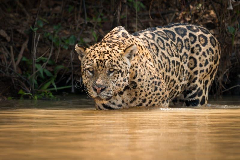 Jaguar fissa fuori sopra il fiume dalla secca immagine stock libera da diritti
